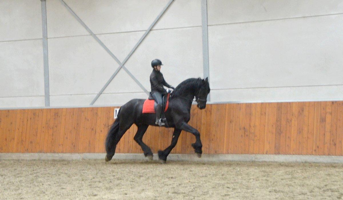 Victor - Norbert 444 Sport x Piter 312 - Very Impressive STER Stallion!! Dressage crack!