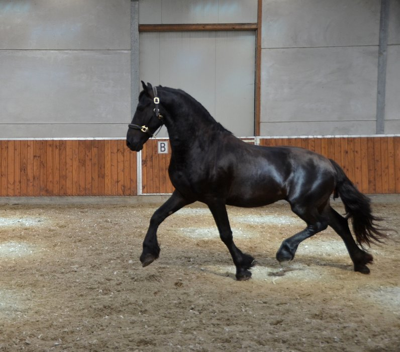 Vester - Aarnold 471 Sport x Sape 381 Sport - Nice looking stallion with great movements!