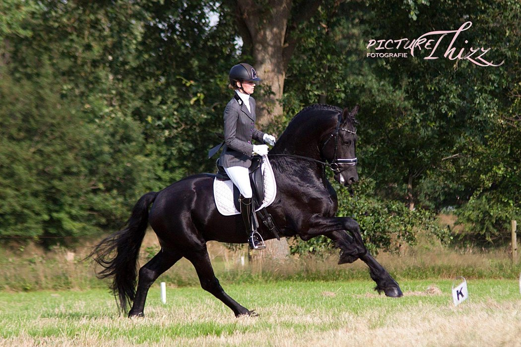 Jobbe T. fan 'e Boppelannen - Norbert 444 Sport x Gjalt 426 Sport - Ster+Sport stallion, great dressage prospect for the upper levels!