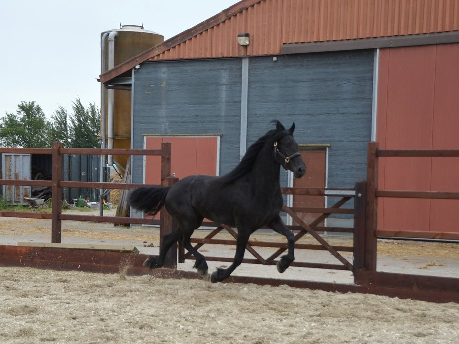 Tjitske - Rindert 406 x Bente 412 Sport - Stb mare with long manes and great movements!
