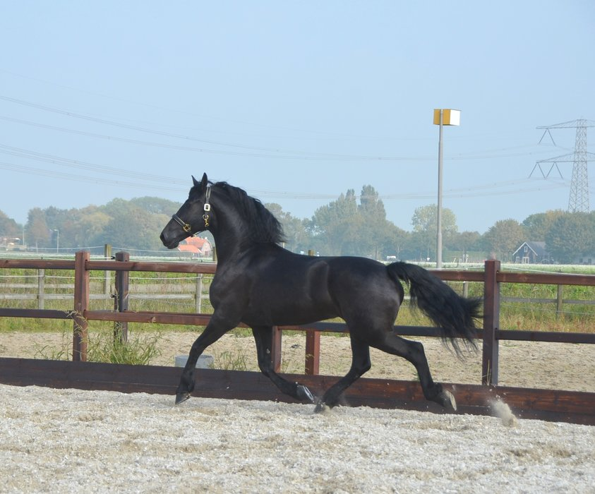 Merle - Fabe 348 Sport+Pref x Onne 376 Sport - Very beautiful 3rd Pr. Stb mare with great movements!