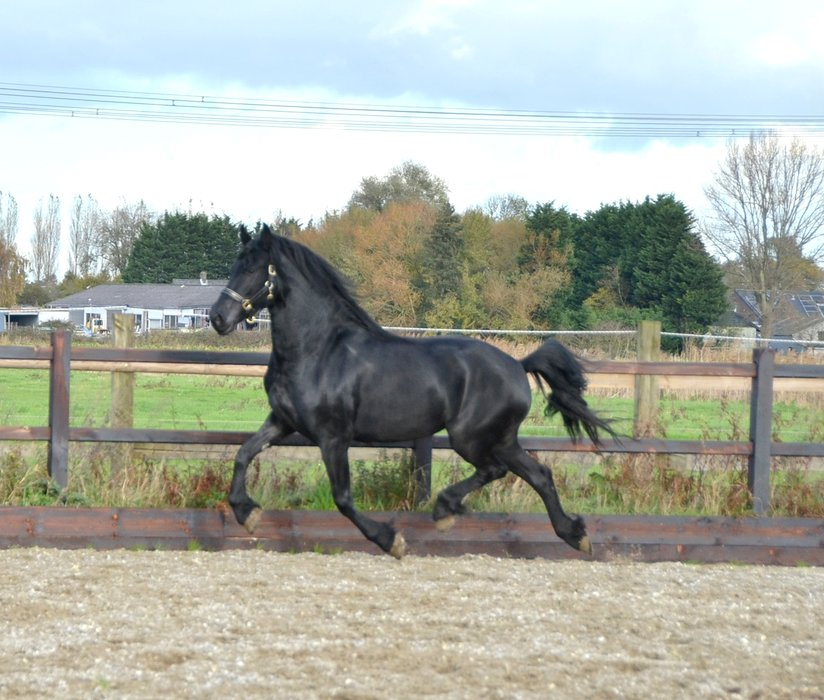 Tjitske is sold to Miss. Cinderella in Holland - Congratulations with this pretty mare!!