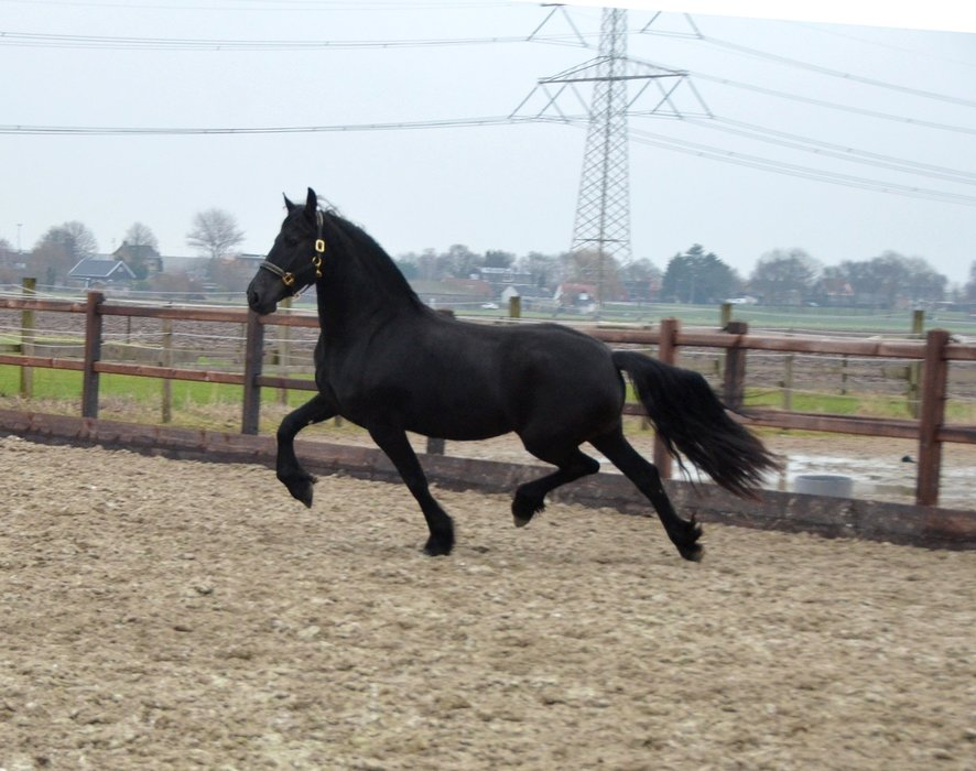 Truike is sold to the USA - Congratulations with this beautiful, pregnant Ster mare!