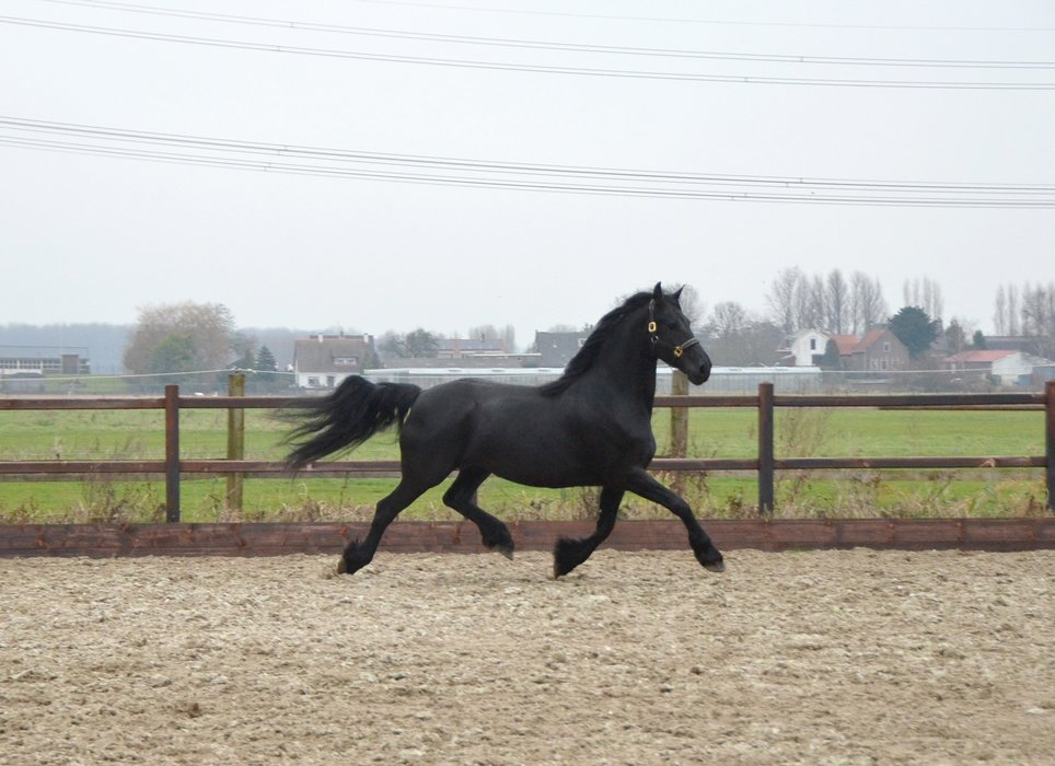 Famke is sold to the USA - Congratulations with this beautiful pregnant Crown mare!
