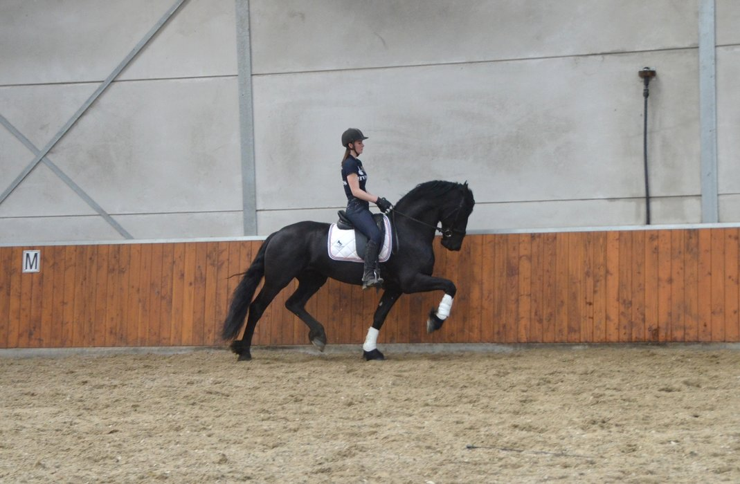Wypke - Gerben 479 Sport x Meinse 439 - 2nd Round Ster stallion with High Potential for future dressage - Related to the approved stallion Hessel 480 Sport!