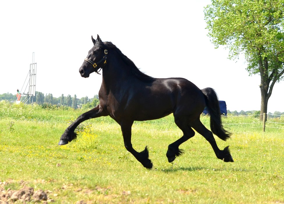 Wiesje - Wytse 462 Sport x Nanno 372 - Classical, full papered Studbook mare with great movements!