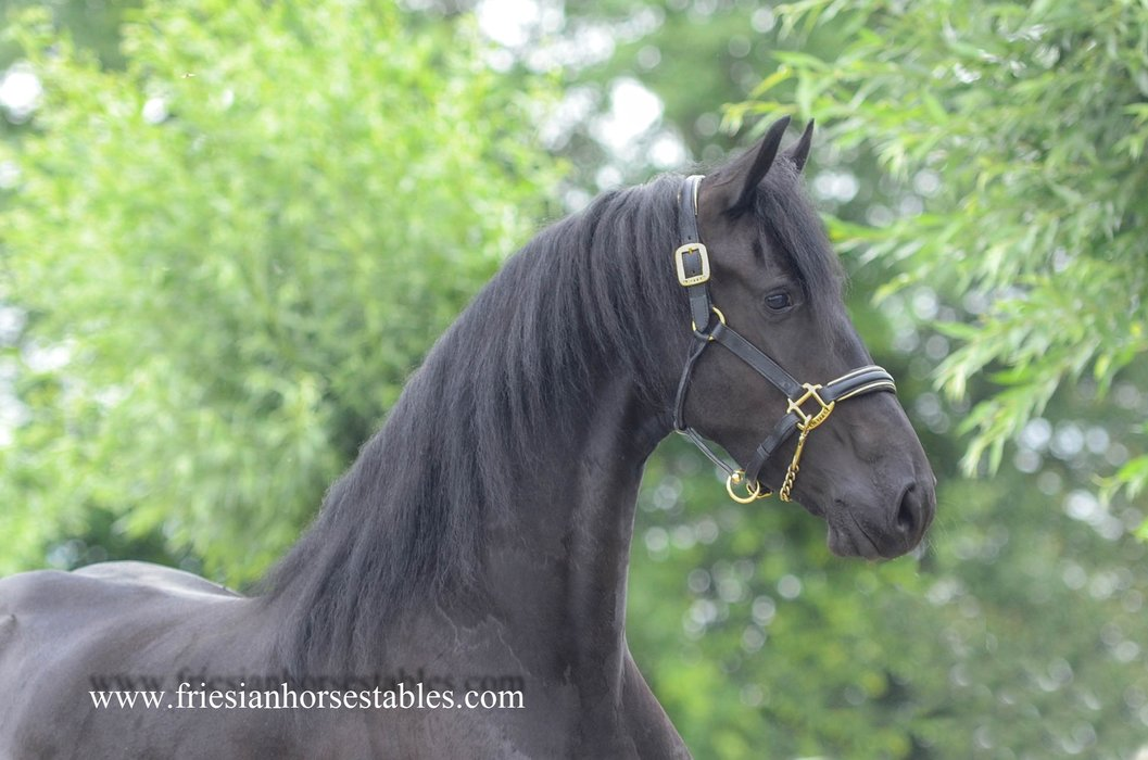 Talitha is sold to China - Congratulations with this pregnant mare!