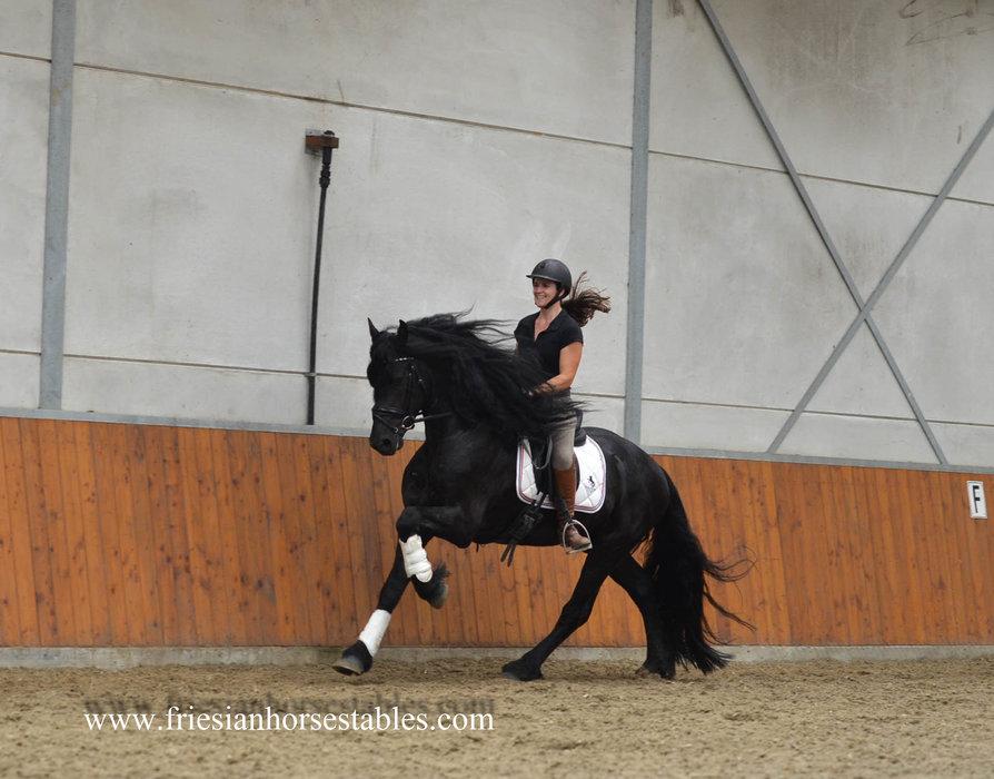 Tilmon - Ulke 338 Sport x Anton 343 Sport+Pref - Fairytale looking stallion!! - Love at first sight!