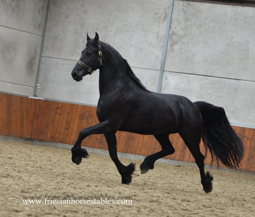 Tessa is sold to Klaas and Nicolette in Holland - Congratulations with this stallion look a like pregnant mare!!