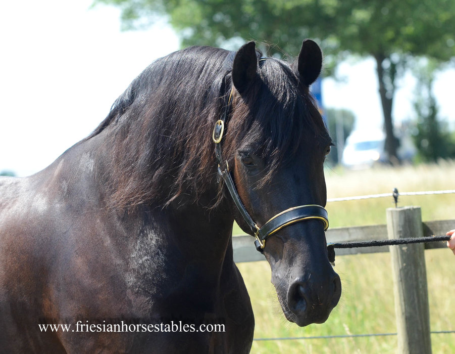 Meye is sold to Joanne in the UK - Congratulations with this beautiful gelding, we are happy that you will give him a forever home!!