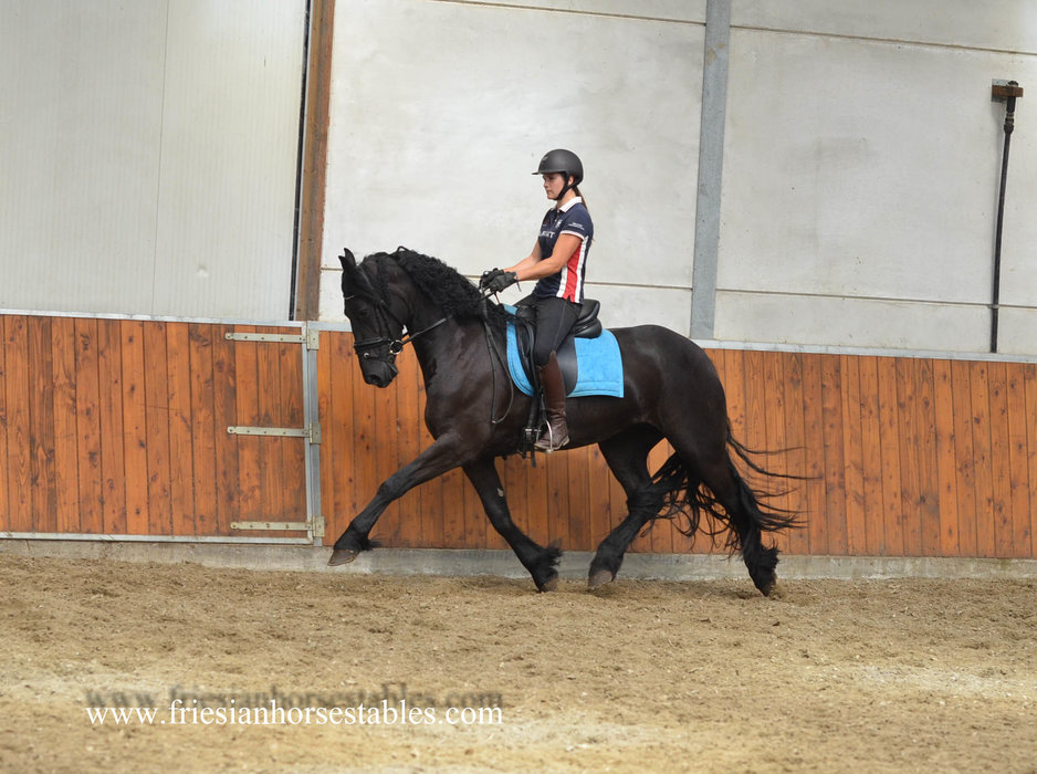 Yfke - Wylster 463 Sport-Elite x Tsjalle 454 Sport - Full papered 3rd premium studbook mare with the Wow factor!