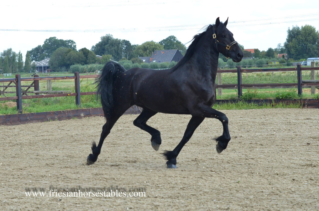 Wytske is sold to China - Congratulations with this pregnant mare!