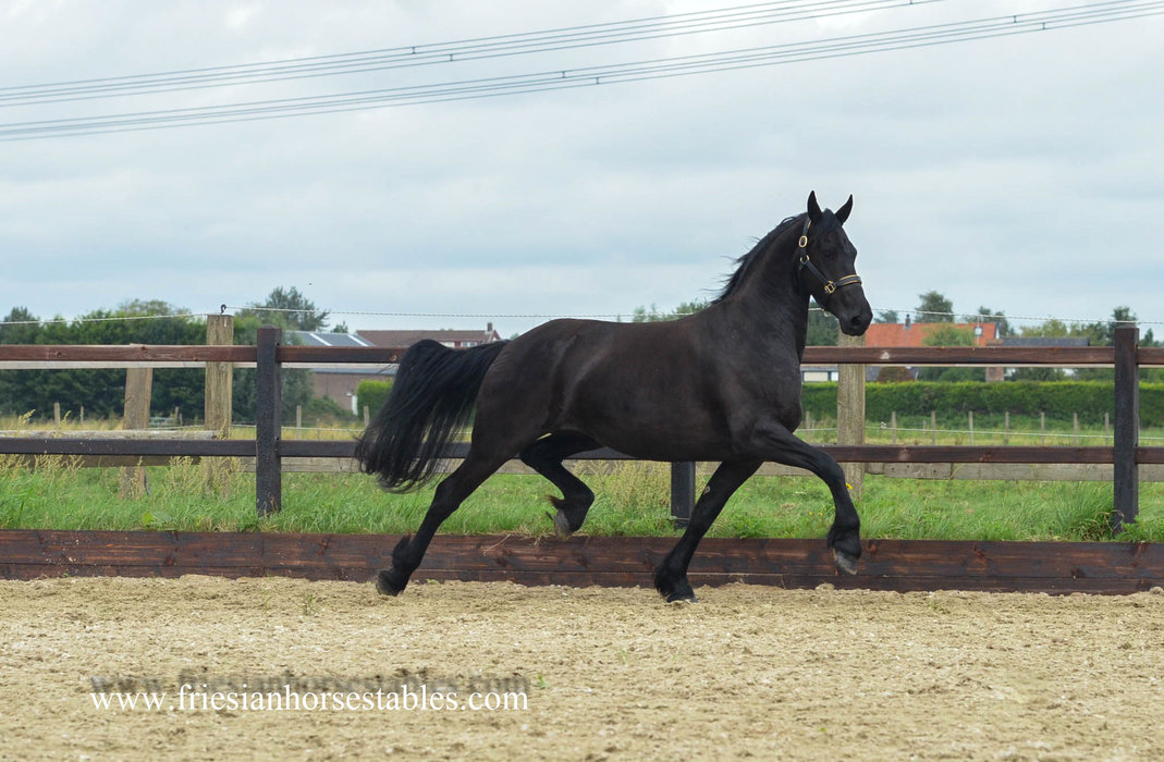 Tsjitske is sold to Mr and Mrs Sőre from Hungary - Congratulations with buying such a beautiful mare!!