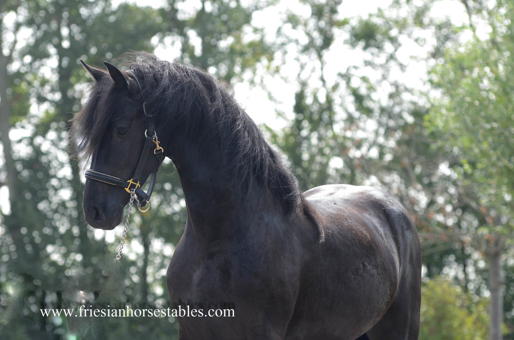 Walter is sold to Marieke in Holland - Congratulations with this pretty and handsome black beauty!!