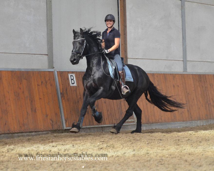 Yukon - Thorben 466 Sport-Elite x Tsjitse 387 - Great moving stallion, two sisters of him are Crown!!