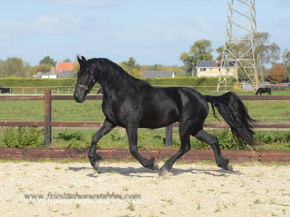 Zaya - Stendert 447 Sport x Heinse 354 Sport+Pref - Full papered mare with smooth movements and a very nice personality!