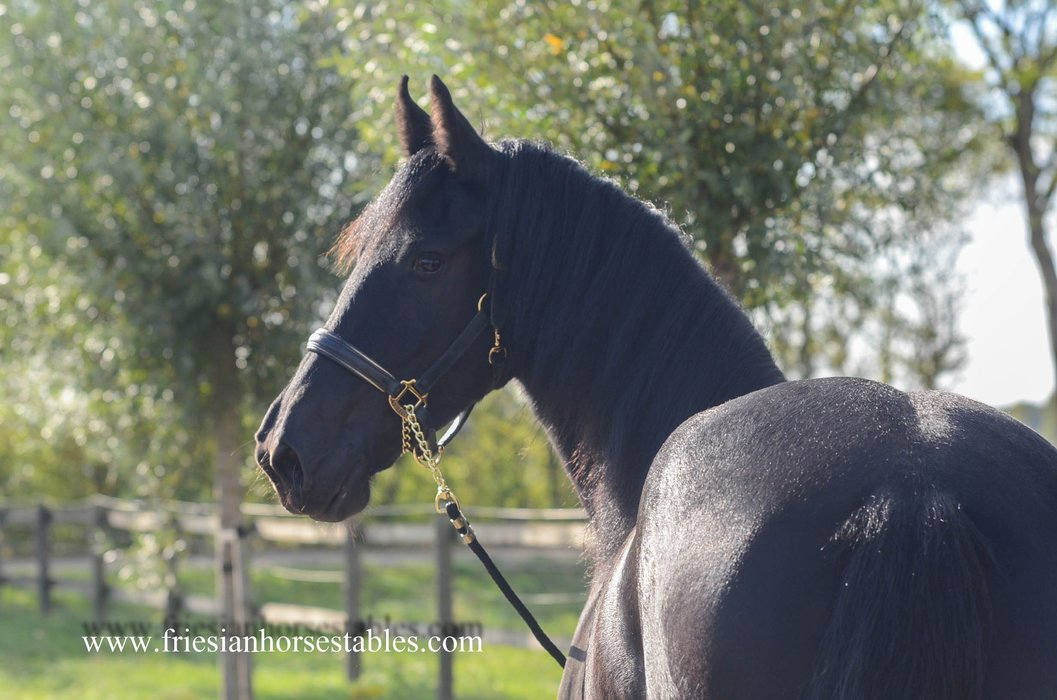 Zaya is sold to Gabriella in Holland - Congratulations with this sweet and lovely black beauty!!