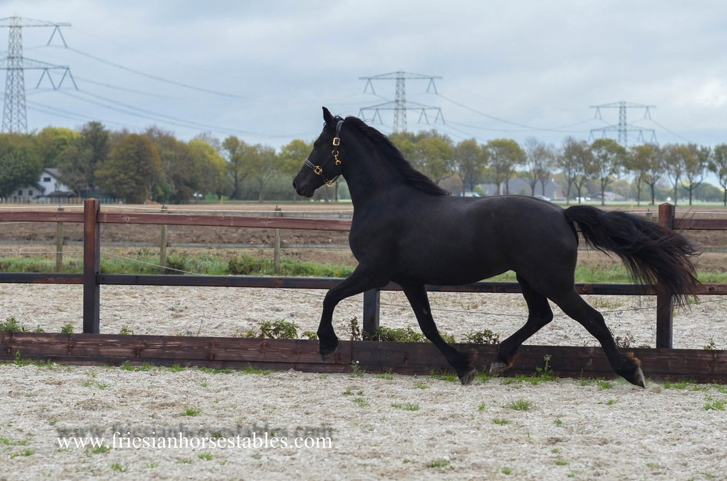 Willemien - Hette 481 Sport x Liekele 364 Sport - Full papered mare with great movements!