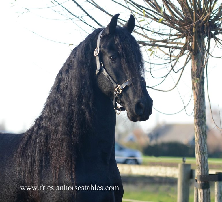 Jens - Uldrik 457 x Mintse 384 Sport - 7,5 year old expressive gelding - real black beauty!