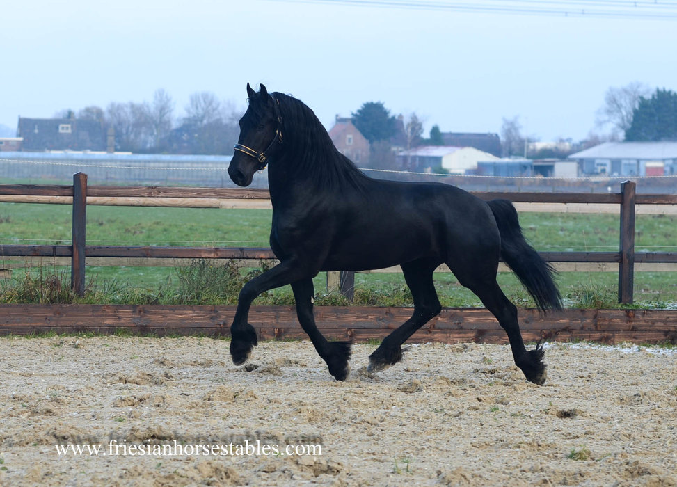 Bearnt - Hessel 480 Sport x Tsjalle 454 Sport - The looks and movements all in one horse!