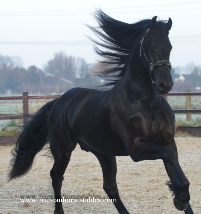 Bauke - Jehannes 484 Sport x Beart 411 Sport+Pref - Modern, uphill build stallion with great movements!!