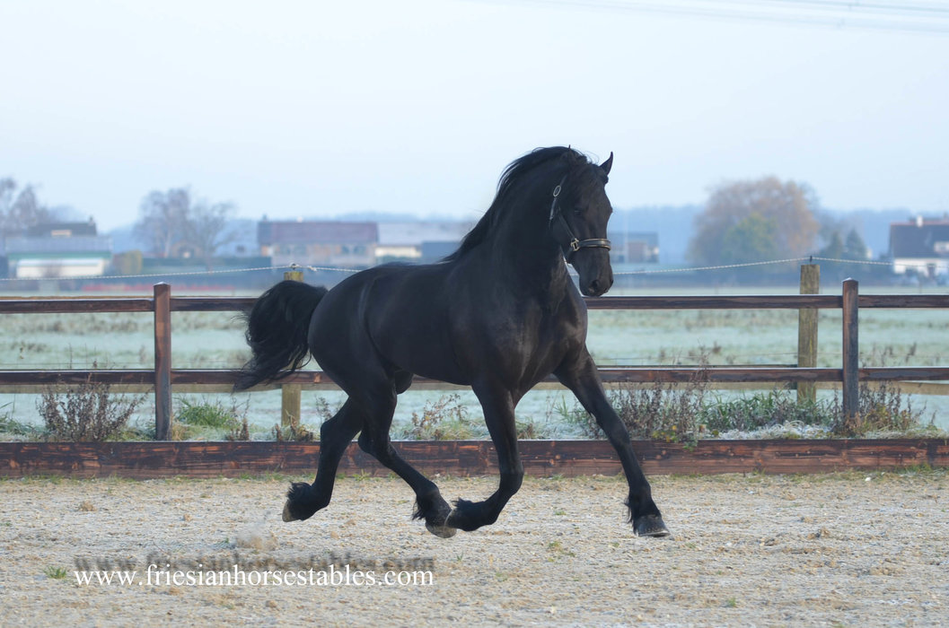Bauke is sold to Salvador in the USA - Congratulations with this Fantastic stallion!!