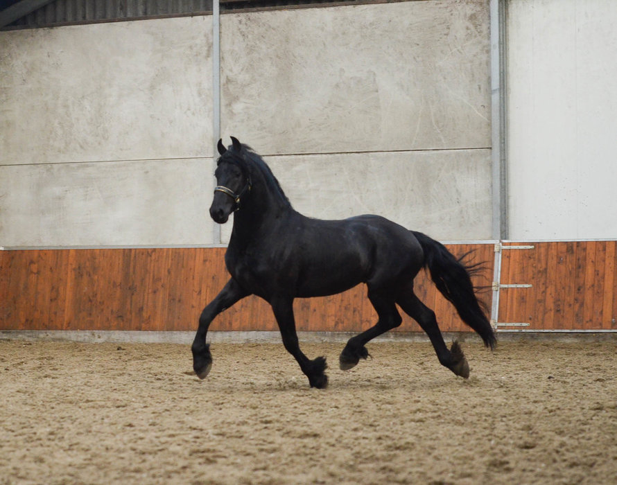 Baron - Pier 448 Sport x Tjalf 443 - Full papered, well moving and great looking stallion!