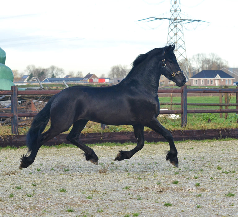 Bjinte - Tsjalle 454 Sport x Beart 411 Sport+Pref - FIRST premium as a colt - Future top sports horse with the X-factor!!