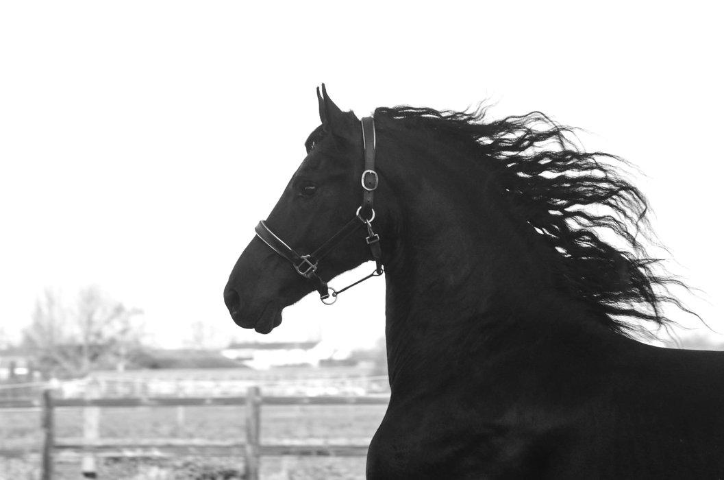 Boaike - Beart 411 Sport+Pref x Tsjalke 397 - Handsome, Impressive, Tall Friesian stallion out of a great mother line!