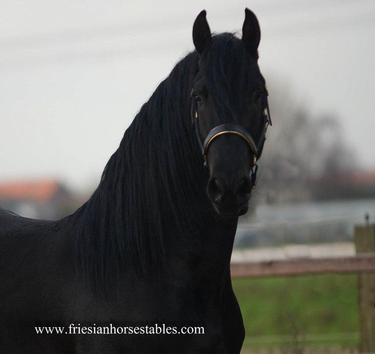 Bindert - Hessel 480 Sport x Lutger 436 Sport - First Premium as a foal - Future sports horse!