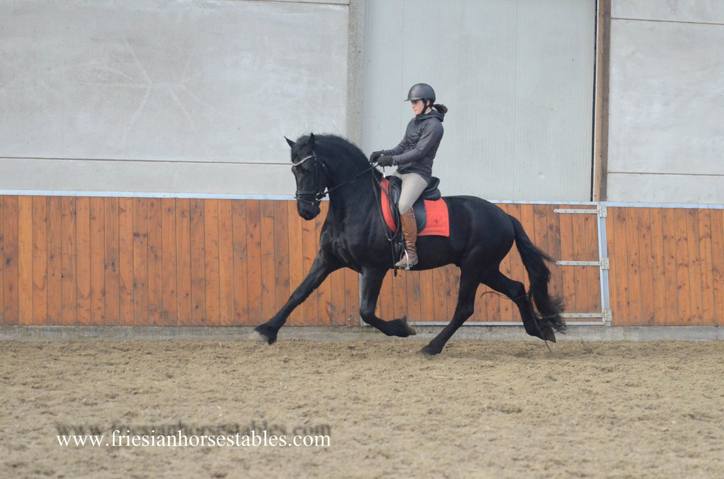 Wizard - Thorben 466 Sport-Elite x Tsjalke 397 - Almost 4 year old gelding with a Fantastic personality and great movements!