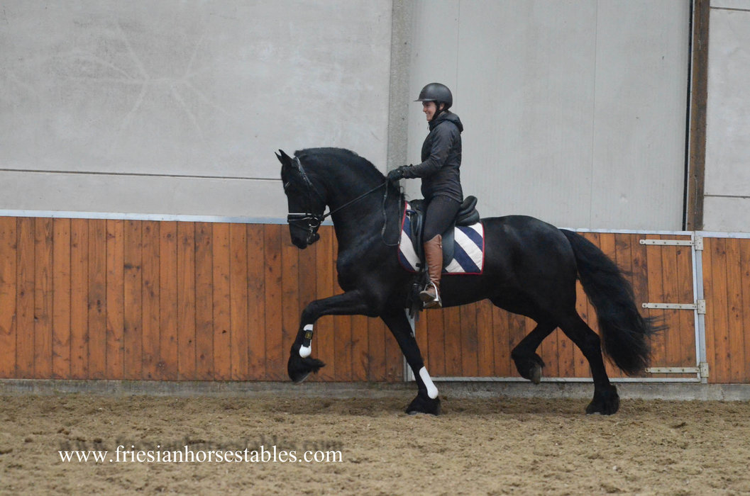 Wybren - Alwin 469 x Heinse 354 Sport+Pref - VERY Impressive 2nd round Ster stallion - Well ridden and driven!!