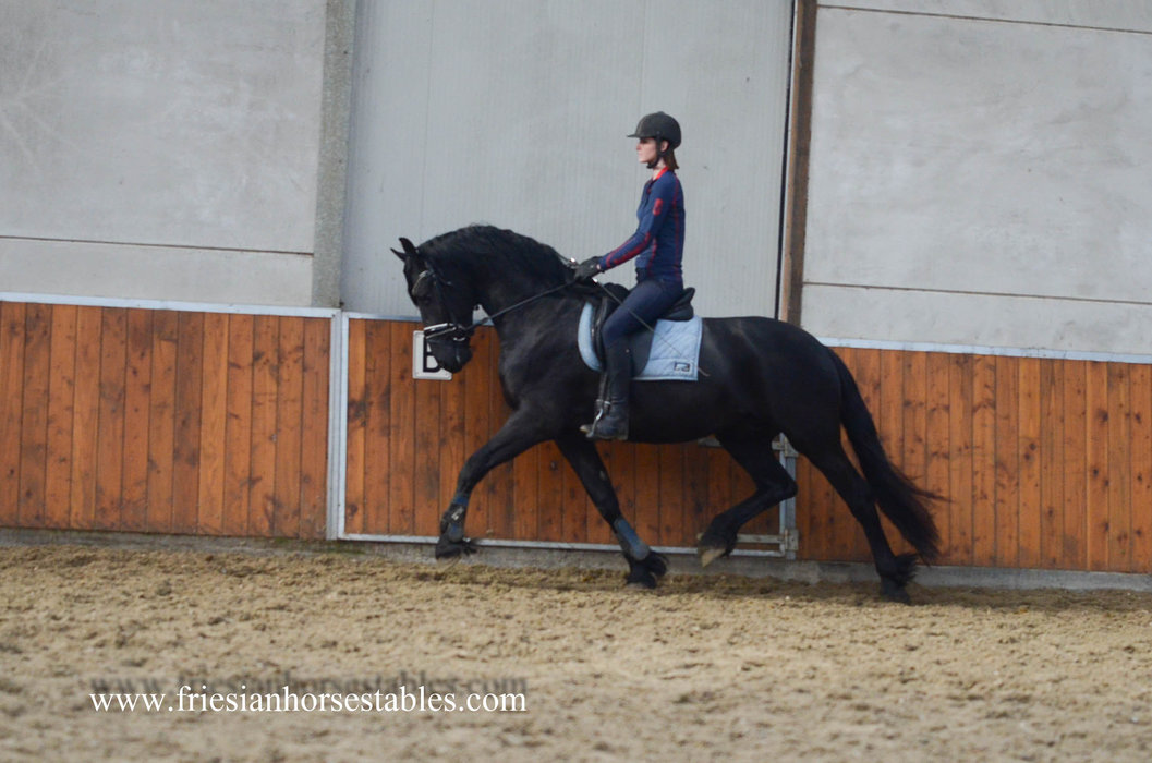 Auke - Tsjalle 454 Sport x Beart 411 Sport+Pref - Out of a Crown mother - This boy knows how to move!