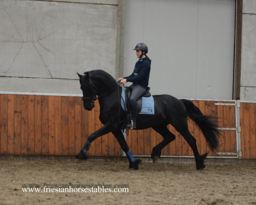 Andres is sold to Leanne in the UK - Congratulations with this high quality Ster stallion!!