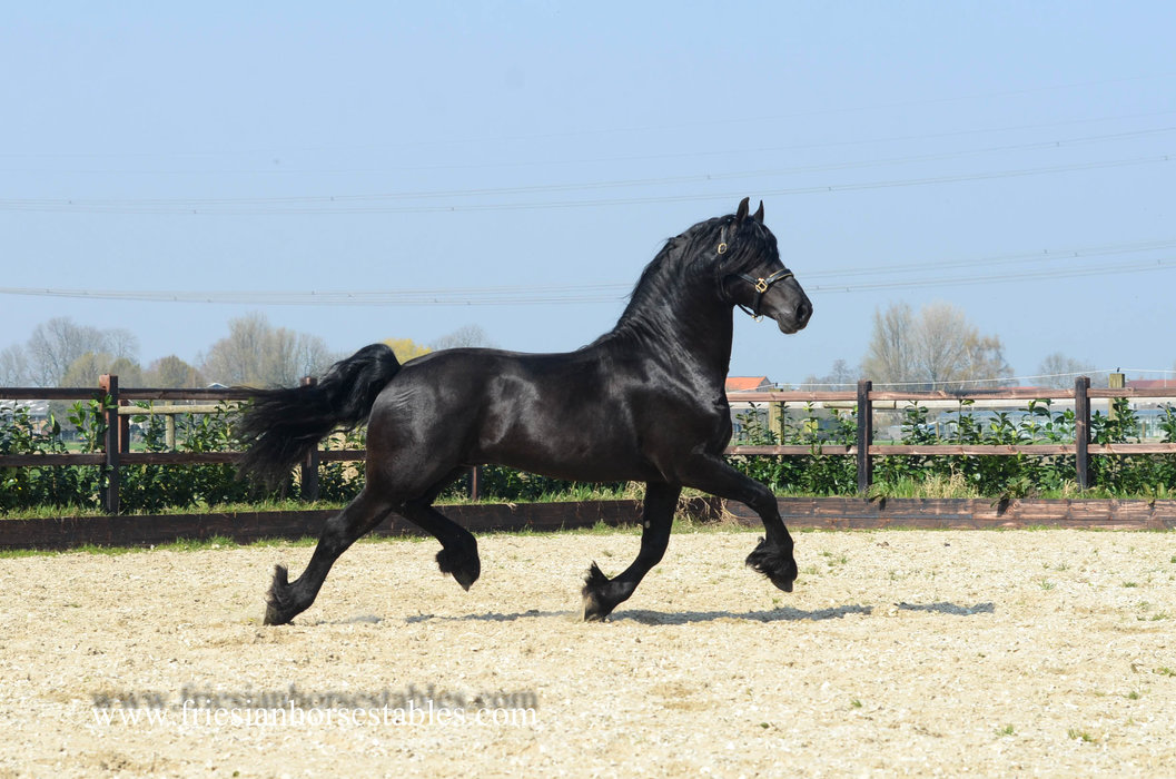 Anno - Tonjes 459 Sport x Arjen 417 Sport - Full papered Baroque style Friesian stallion with good movements!! We love him!
