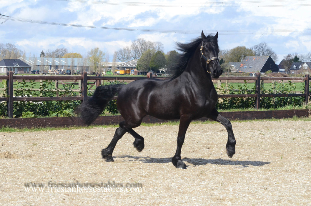 Wiesje - Thorben 466 Sport-Elite x Fabe 348 Sport+Pref - Fancy 4 year old Friesian mare with great movements!!