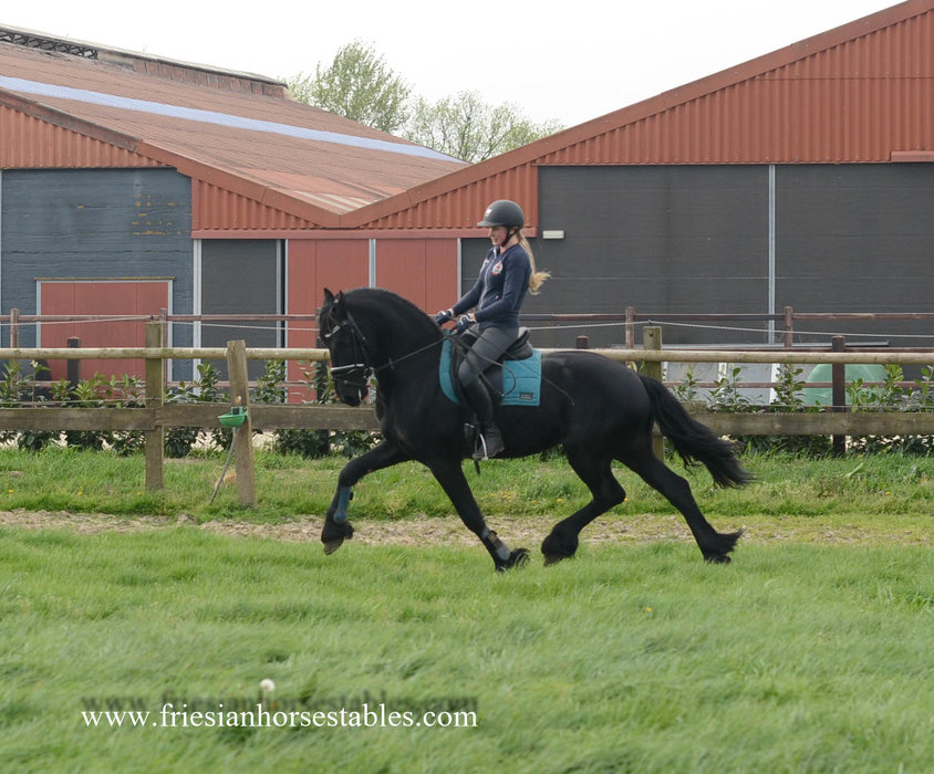 Andres - Alwin 469 x Haitse 425 Sport-Elite x Naen 264 Pref  - Impressive moving Ster stallion!!