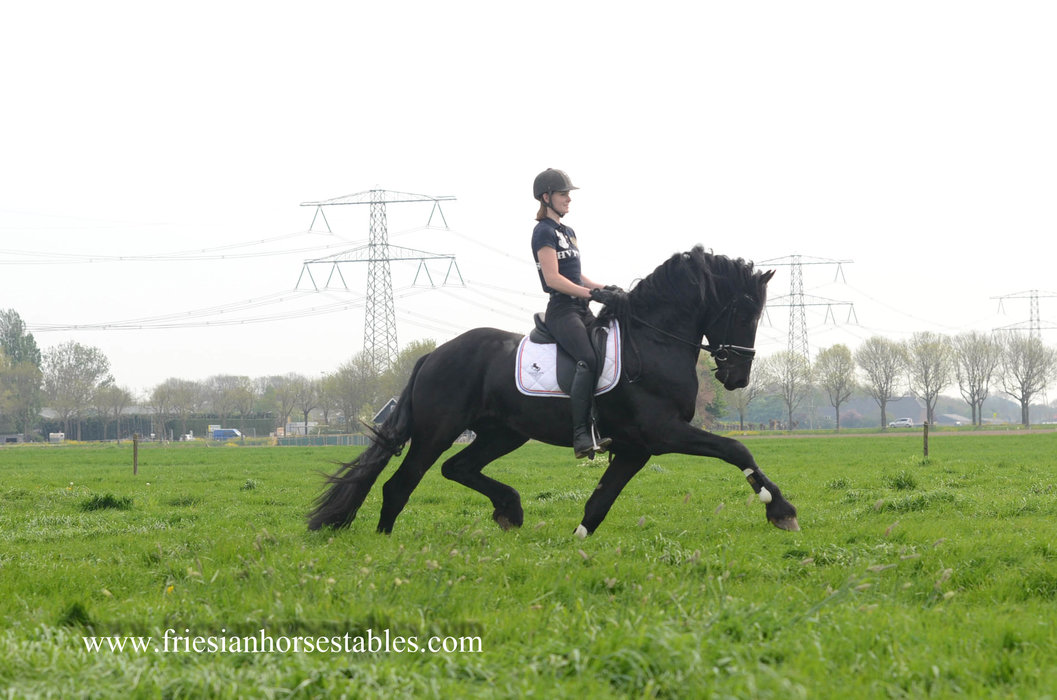 ABC - Pier 448 Sport x Melle 311 Sport - Very impressive stallion with a lot of expression!!