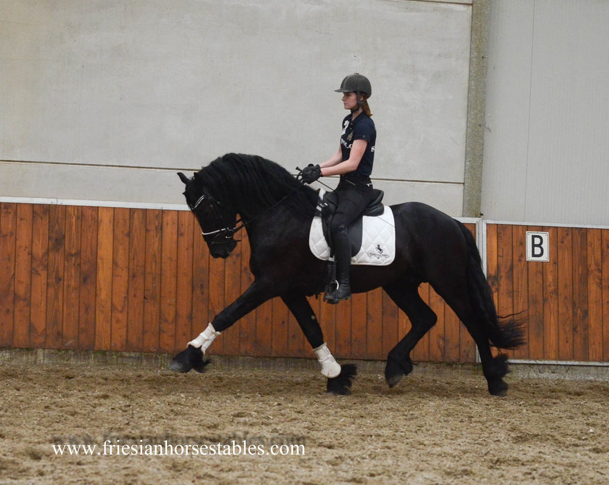 Yeb - Tsjalke 397 x Tsjerk 328 Sport+Pref - Very handsome stallion with excellent gaits!!