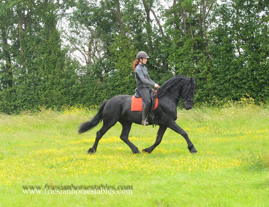 Arno - Beart 411 Sport+Pref x Erik 351 Sport - Out of a Sport+Pref mother - Impressive stallion, future sports horse!