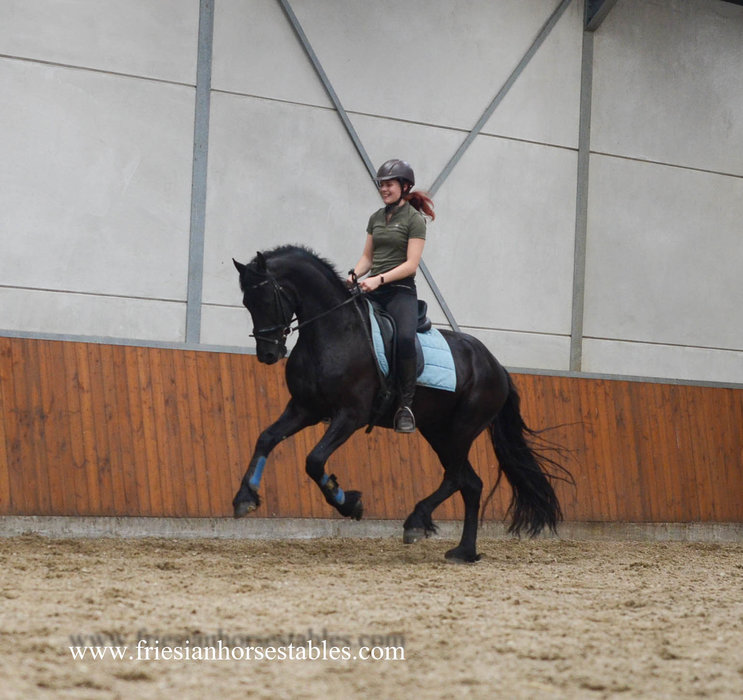 Tymen - Wylster 463 Sport - Elite x Tsjerk 328 Sport+Pref - Fantasic looking, great moving Talented Sport gelding!!