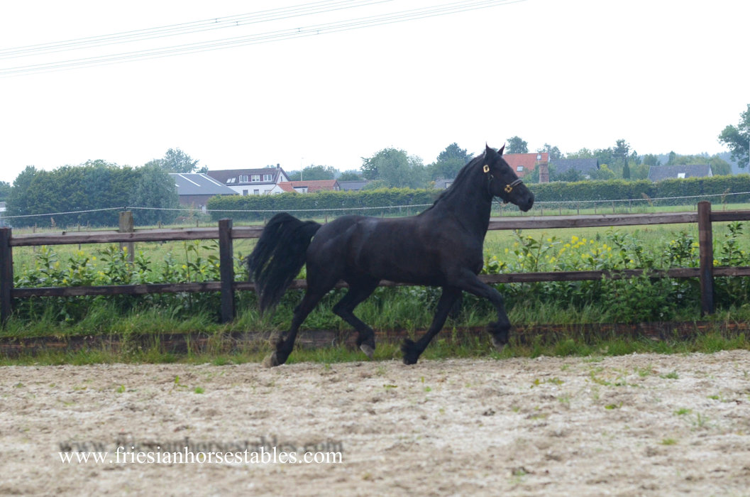 Ymke is sold to Margrit in Holland - Love at first sight - Congratulations with this sweet, easy going mare!!