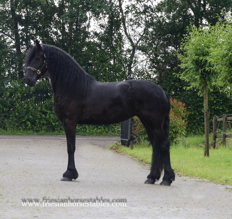 Wybrich is sold to Faye and Saskia in Holland - Congratulations with this great mare!!