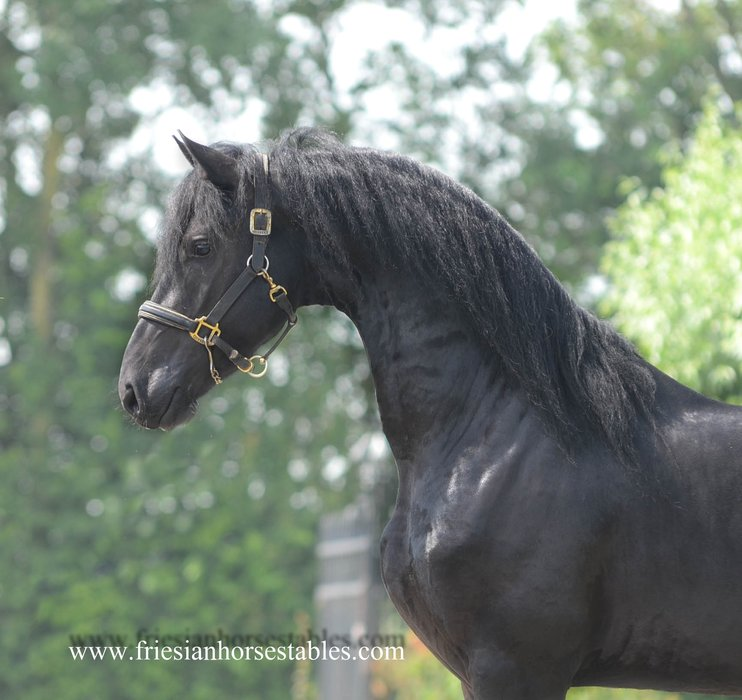 Bjinse - Thorben 466 Sport-Elite x Olgert 445 Sport-Elite - Modern Friesian stallion with strong movements!