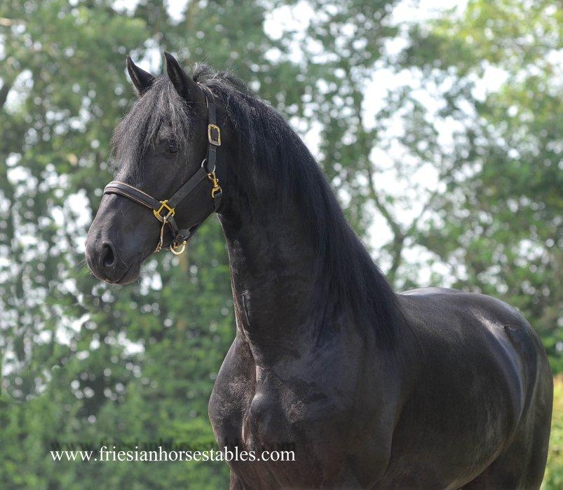 Bjinse - Thorben 466 Sport-Elite x Olgert 445 Sport-Elite - Modern Friesian stallion with strong movements!