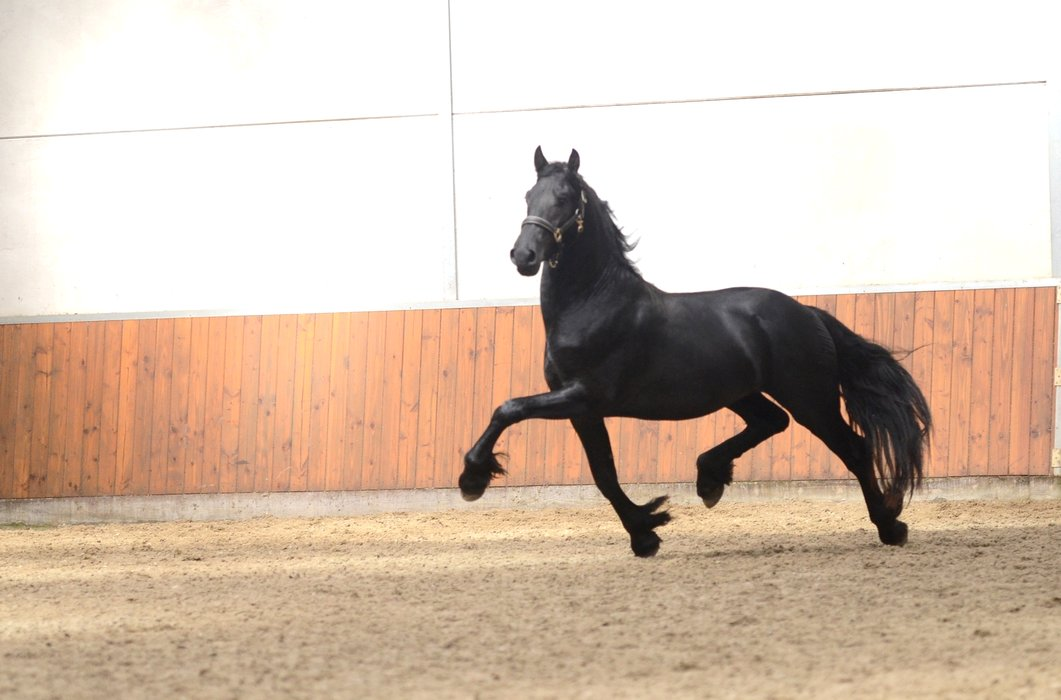 Fede - Alke 468 Sport x Jasper 366 Sport+Pref+Elite - Young talented full papered 2 year old stallion!