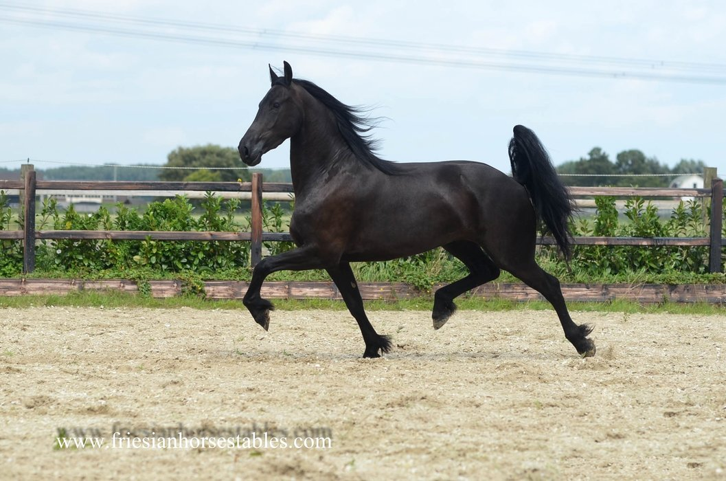 Black Beauty - Jouwe 485 Sport x Loadewyk 431 Sport-Elite - It's all in the name!! Quality sports mare for the future! Bred by Ulbran 502!!