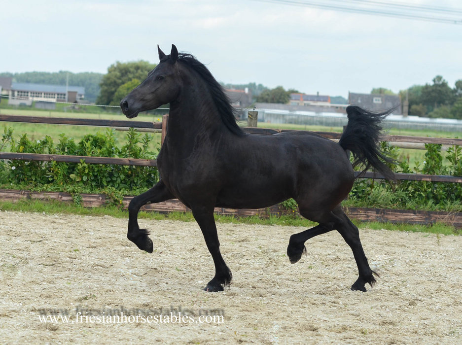 Yfke is sold to a great home in Holland - Congratulations with this pregnant Ster mare!!