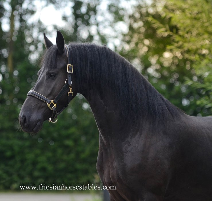 Yfke - Tsjalle 454 Sport+Pref x Ielke 382 Sport - Interesting full papered Ster mare, out of the mother line of Norbert 444 S+P - In foal by Wimer 461 Sport!