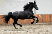 Freule - Hessel 480 Sport x Maeije 440 Sport - 3rd premium Studbook mare with superb movements!!